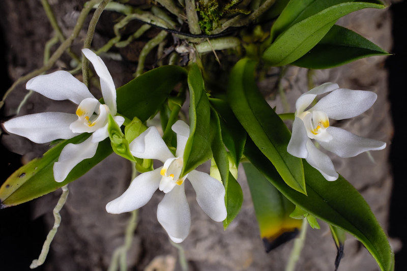 Miniatur-Orchideen Teil 4 - Seite 5 27135384458_8df8e490e9_c