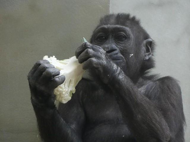Gorilla Tonda, Wilhelma