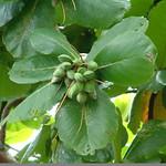 Terminalia cattapa leaves and fruit