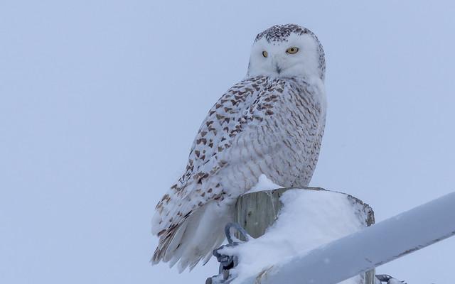 Harfang des neiges Snowy, Nikon D7200, Sigma Macro 50mm F2.8 EX DG