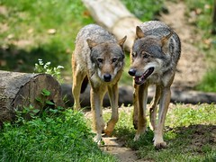 GaiaZOO grijze wolven