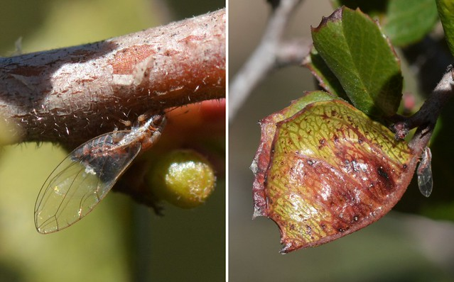 Tiny psyllid insects on Holly-Leaved Redberry - and a gall
