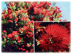 Metrosideros excelsa (New Zealand Pohutukawa, New Zealand Christmas Tree/Bush, Iron Tree), March 8 2018