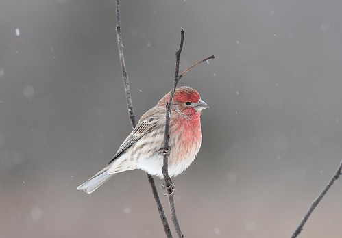 Male House Finch- cold snowy morning