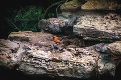 70.365.2018 Cardinal on the Rocks