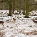 Roe Deer at Dunham Massey