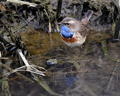 Bluethroat 4