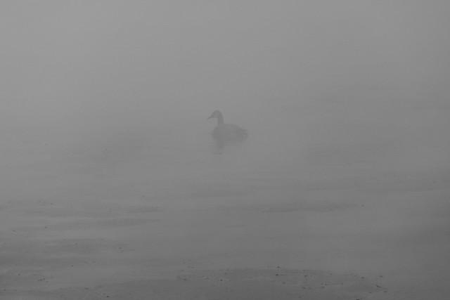 Canada Goose in the fog