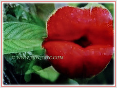Beautiful Psychotria elata (Hooker's Lips, Hot Lips Plants, Hot Lips, Mick Jagger's Lips) with red bracts that resemble 2 luscious lips, March 12 2018