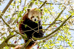 GaiaZOO Rode panda bloesem