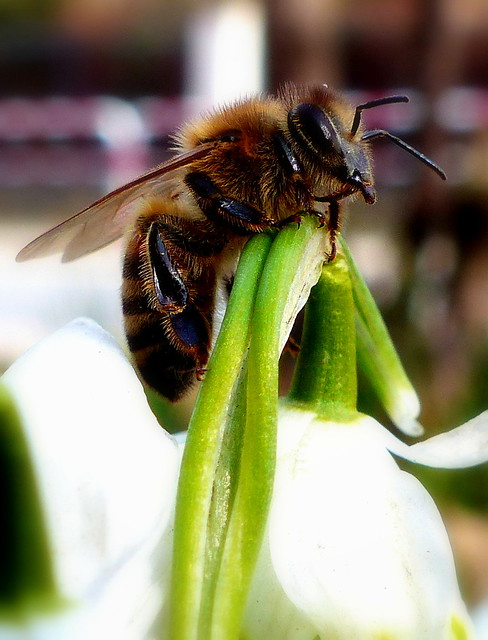 Pszczoła.