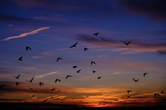Flock of crows in morning light