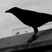 blackbird (a crow )