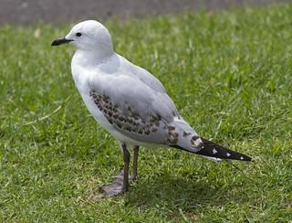 Chroicocephalus novaehollandiae, Silver Gull (juvenile)