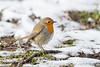 Rotkehlchen    grimmige Temperaturen läßt die armen Vögel frieren