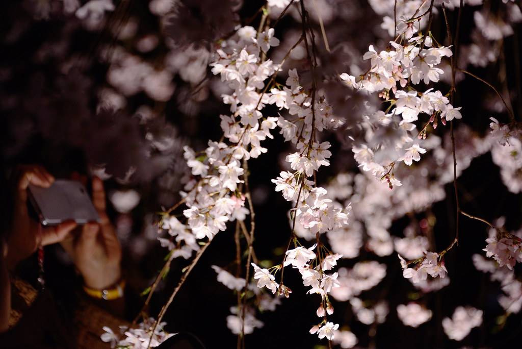 Cherry brossoms at Rikugien Garden 六義園のしだれ桜