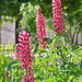Pink Lupines