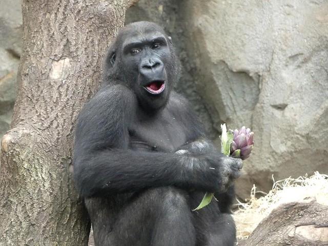Gorilla Quembo, Zoo Frankfurt