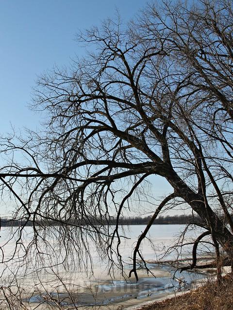 shore tree