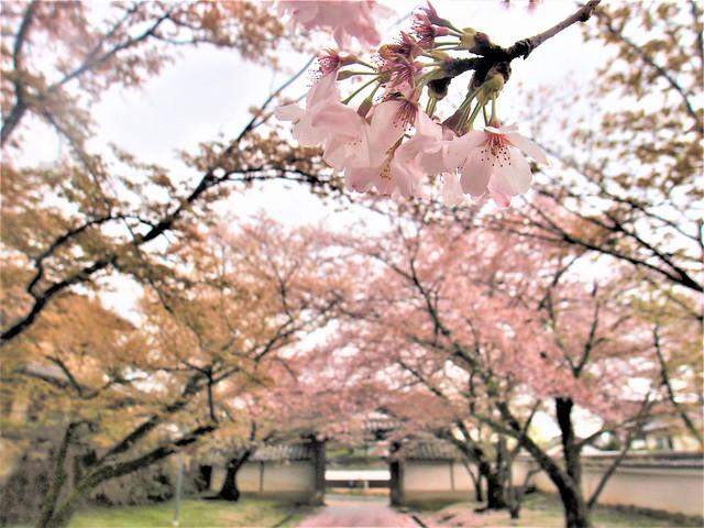 daigoji-sakura020