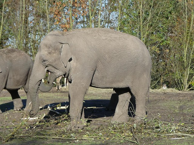 Asiatischer Elefant, Dierenrijk Mierlo