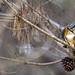 Sacred Kingfisher 89