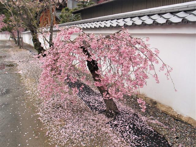 kajuji-sakura011