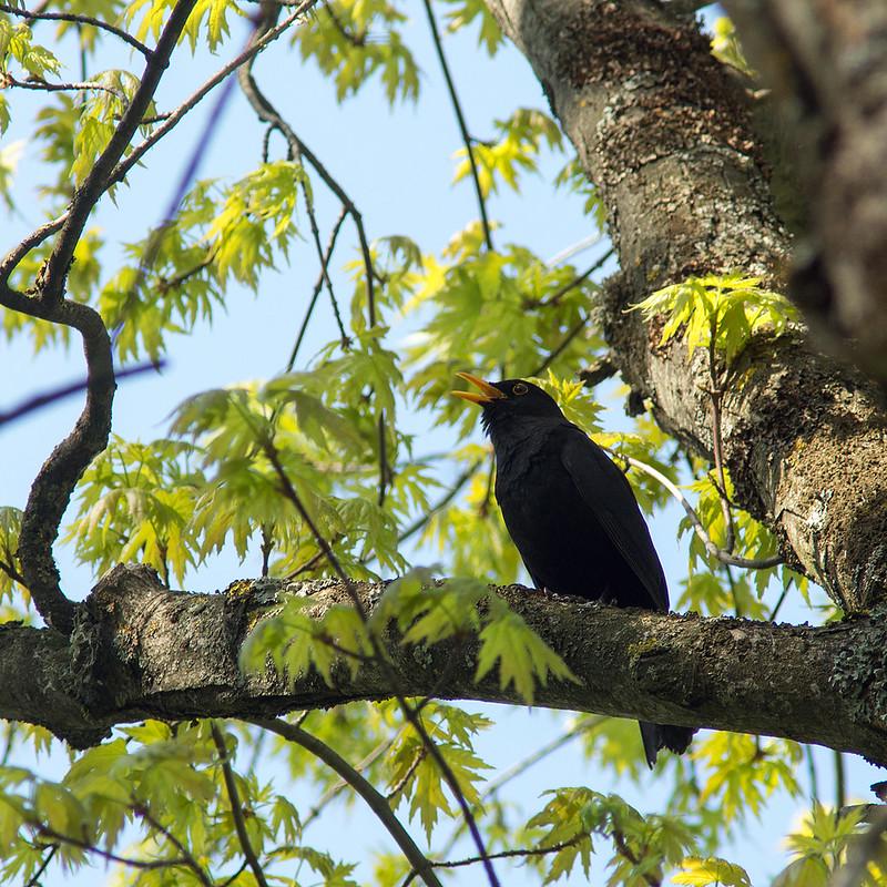 Singing blackbird (Turdus merula)