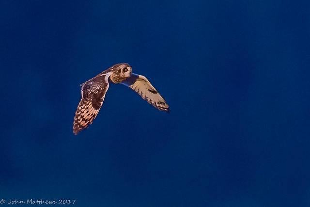 Short-eared Owl-6857.jpg, Canon EOS 7D MARK II, Canon EF 600mm f/4L IS