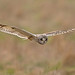 Short Eared Owl by drbut