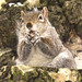 Tree squirrel with nut