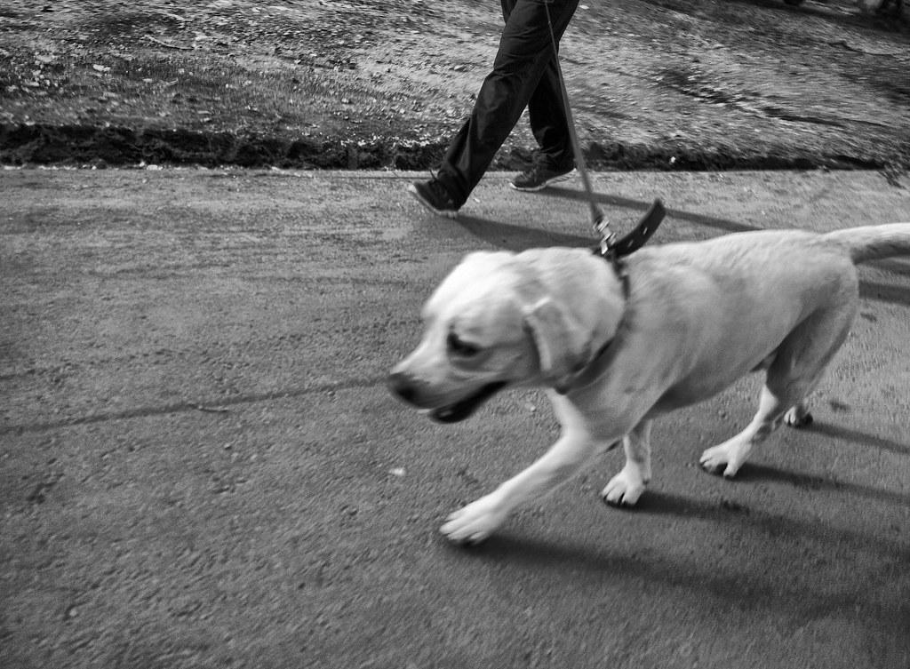 Лабрадор на прогулке