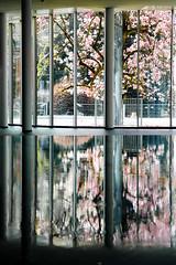 Magnolie vor der Therme der Ruhe im Frühling