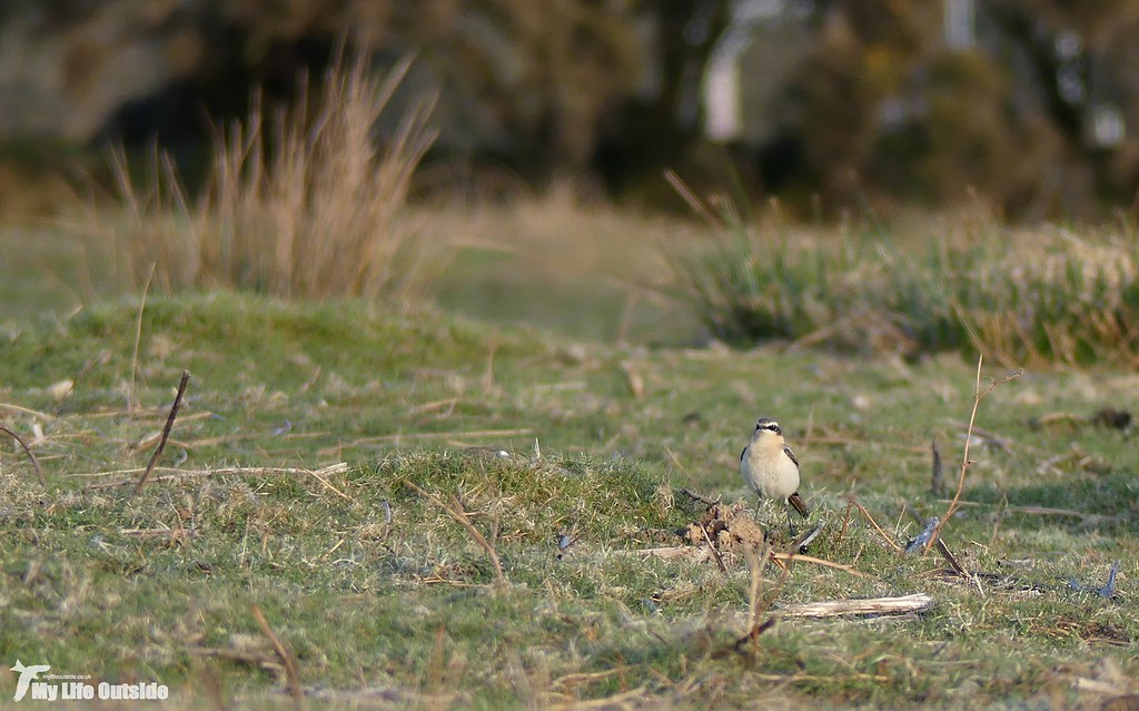 P1130890 - First Wheatear of 2018