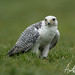 Gyr Saker Falcon