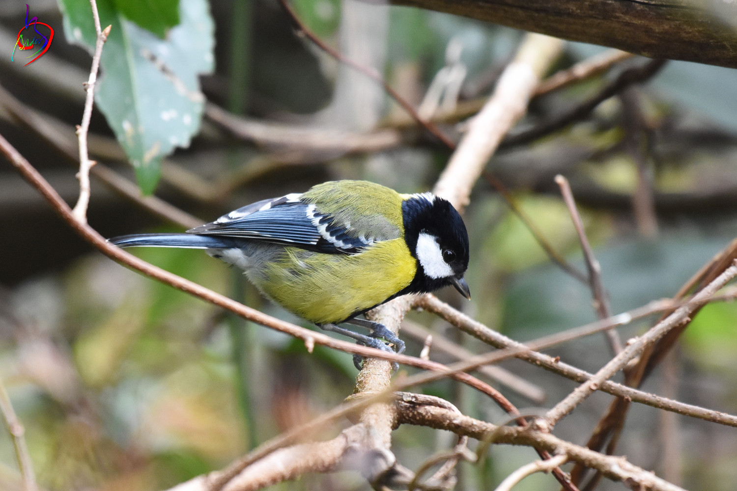 Green-backed_Tit_4181