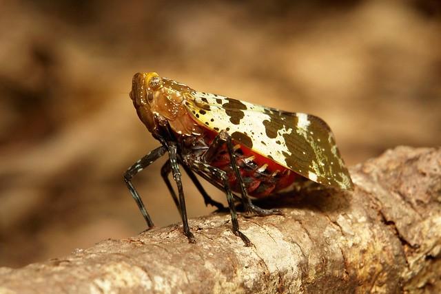 Fulgorid Planthopper or Lanternfly (Penthicodes caja, Fulgoridae)