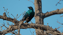 Long-tailed Glossy-Starling