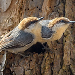 Pair of Brown-Headed Nuthatches