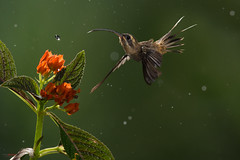 Long-billed Hermit (Phaethornis longirostris) feeding from flowers in the rain