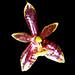 Phalaenopsis cornu-cervi. Deer-antler orchid.