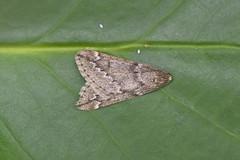 HolderMarch Moth, Ennerdale, Cumbria, England