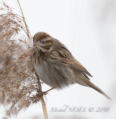 Bruant des roseaux - Emberiza schoeniclus - Common Reed Bunting : Michel NOËL © 2018-2649.jpg