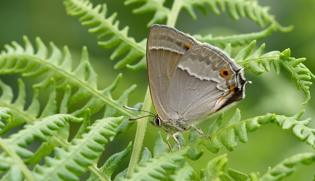 Purple Hairstreak (Favonius quercus).