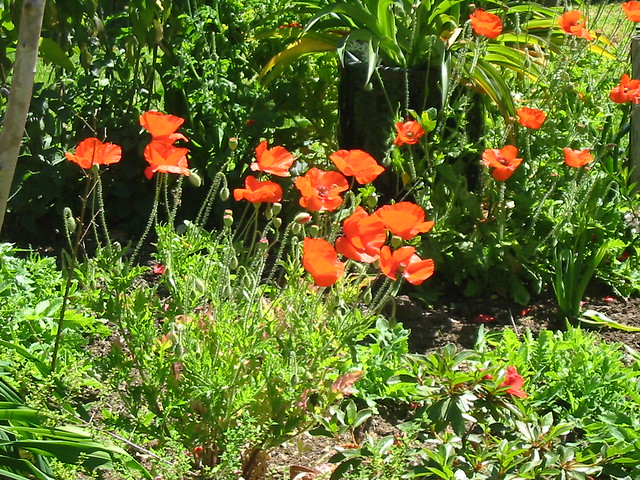 Flanders Poppies, Canon POWERSHOT A30