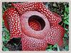 Rafflesia arnoldii (Corpse Lily, Corpse Flower, Bunga Bangkai in Indonesian Language)