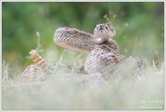 Hoggorm - Viperidae