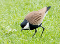 Spur-winger Plover