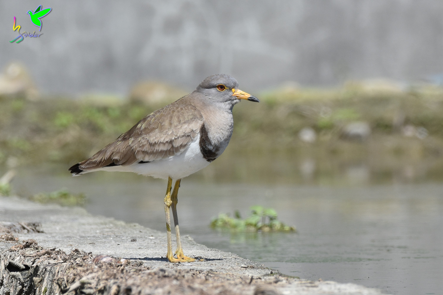 Grey-headed_Lapwing_1479
