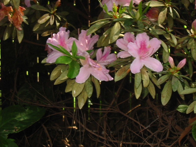 Azaleas in our backyard, Canon POWERSHOT A30